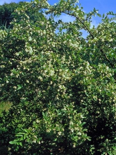 Ligustrum obt. 'Regelianum'  / Buschiger Liguster / Busch-Liguster
