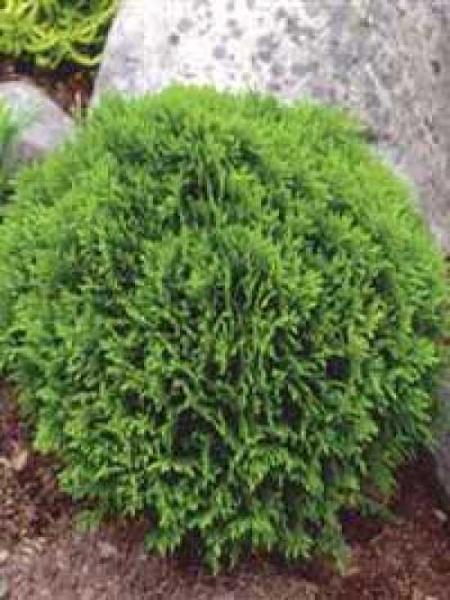 Thuja occidentalis 'Little Giant' / Lebensbaum 'Little Giant'