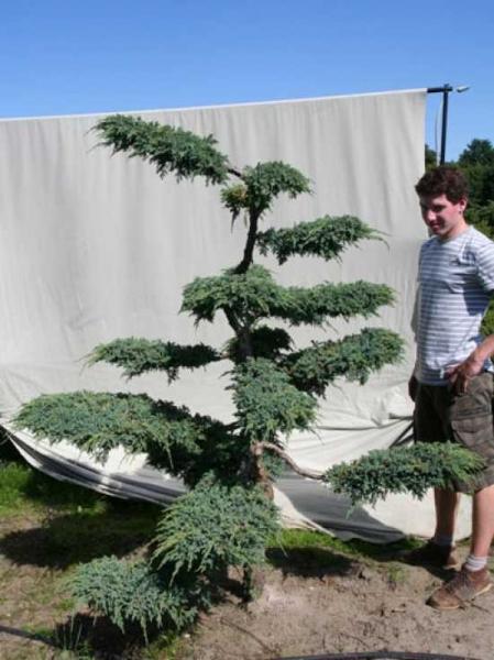 Juniperus squamata 'Blue Carpet' H: 200 cm B: 170 cm / Garten-Bonsai (306101)
