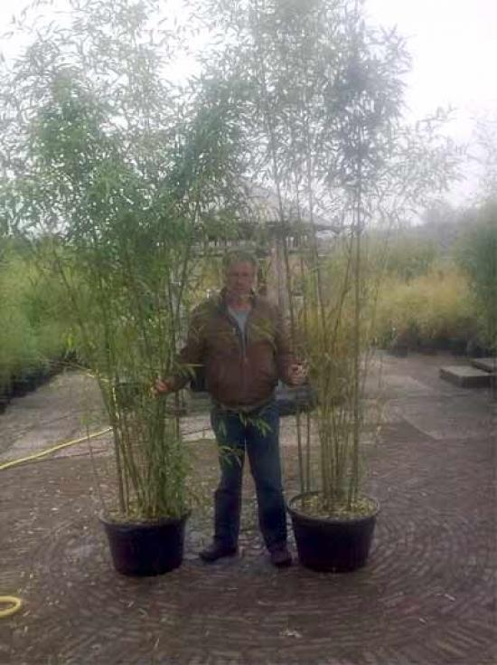 Phyllostachys Viridiglaucescens Gruner Pulver Bambus 200 250 Cm Im