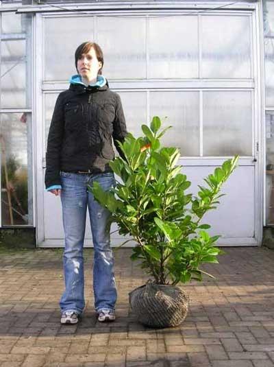 Prunus laurocerasus 'Rotundifolia' / Kirschlorbeer 'Rotundifolia' 80-100 cm mit Ballierung