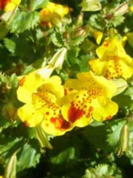 Mimulus 'Bees Major' / Garten-Gauklerblume
