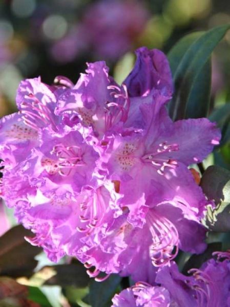 Rhododendron Hybride 'Alfred' / Rhododendron 'Alfred'