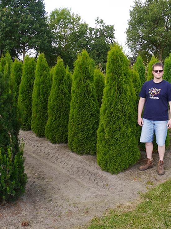 thuja occidentalis 39 smaragd 39 lebensbaum 39 smaragd 39 160 180 cm solit r mit ballierung g nstig kaufen. Black Bedroom Furniture Sets. Home Design Ideas