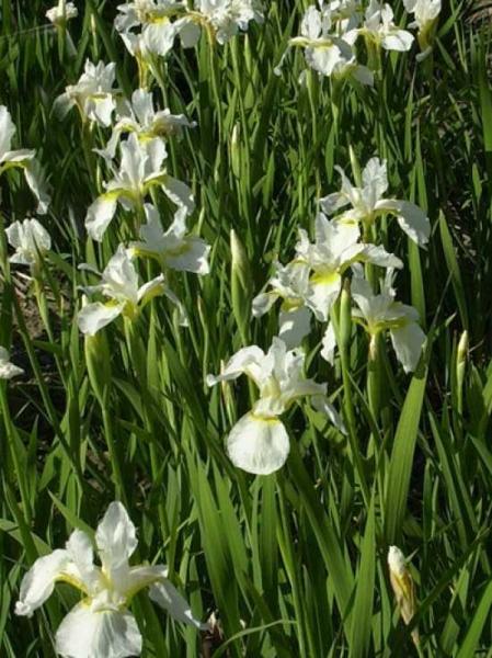 Iris sanguinea 'Snow Queen' / Garten-Schwertlilie 'Snow Queen'