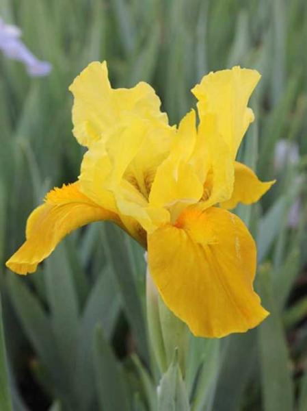 Iris barbata-nana 'Gleaming Gold' / Zwerg-Bart-Iris 'Gleaming Gold'
