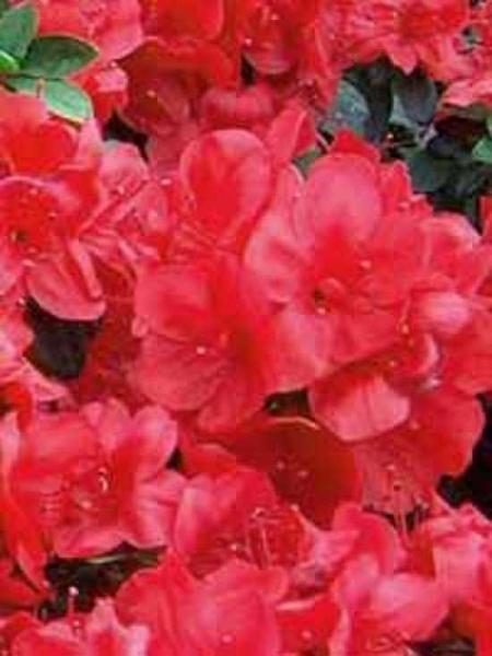 rhododendron obtusum 39 muttertag 39 japanische azalee 39 muttertag 39 g nstig kaufen. Black Bedroom Furniture Sets. Home Design Ideas