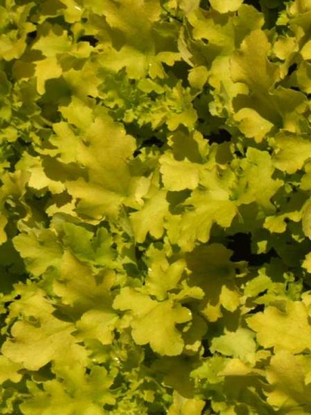 Heuchera villosa 'Lime Marmalade' / Silberglöckchen