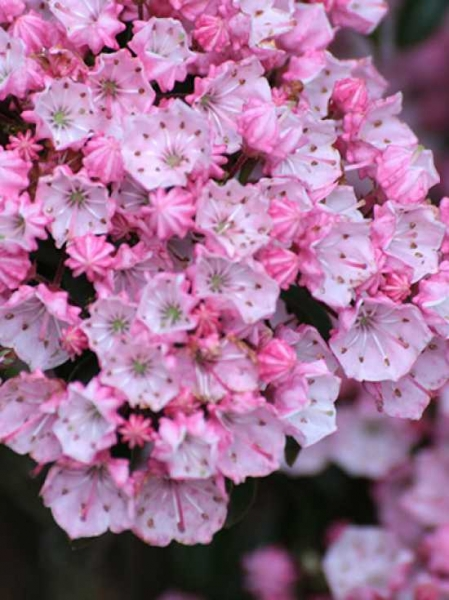 Kalmia myrtifolia 'Tiddlywinks' / Lorbeerrose 'Tiddlywinks' / Berglorbeer 'Tiddlywinks'