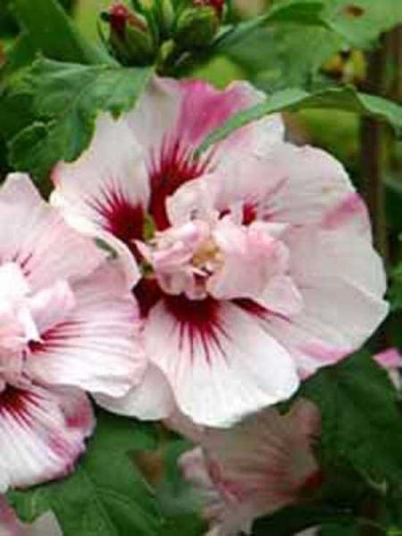Hibiscus syriacus 'Lady Stanley' / Garten-Eibisch 'Lady Stanley' / Strauch-Eibisch 'Lady Stanley'