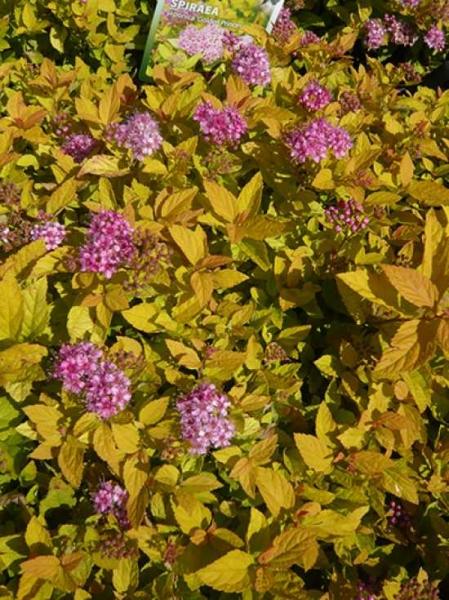 Spiraea japonica 'Golden Princess' / Gelbe Japan-Spiere