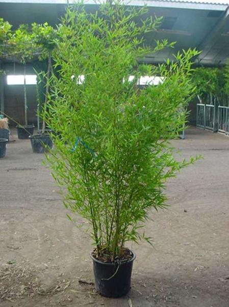 Phyllostachys aurea / Knoten-Bambus 200-250 cm im 20-Liter Container