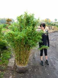 Bambus Fargesia Murielae Jumbo Gunstig In Top Baumschulqualitat Kaufen