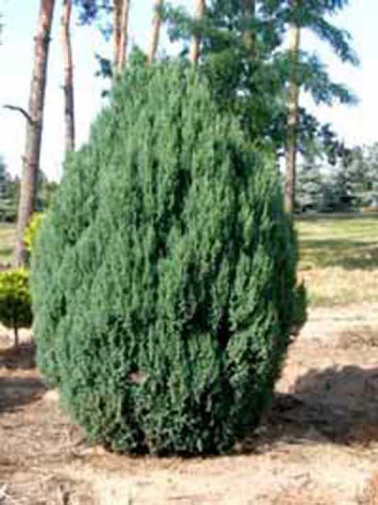 juniperus chinensis 39 stricta 39 chinesischer wacholder kegel wacholder g nstig kaufen. Black Bedroom Furniture Sets. Home Design Ideas