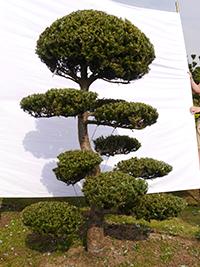 sonstige Bonsai