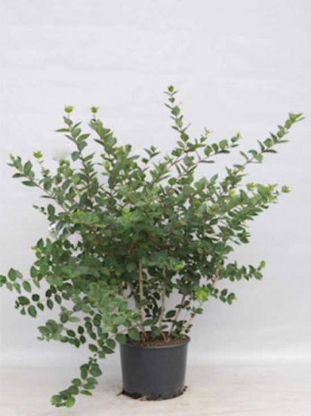 Lonicera fragrantissima / Duftheckenkirsche / winterblühende Heckenkirsche