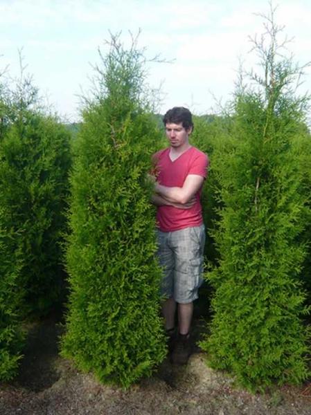thuja occidentalis 39 brabant 39 lebensbaum 39 brabant 39 200 225 cm mit ballierung g nstig kaufen. Black Bedroom Furniture Sets. Home Design Ideas