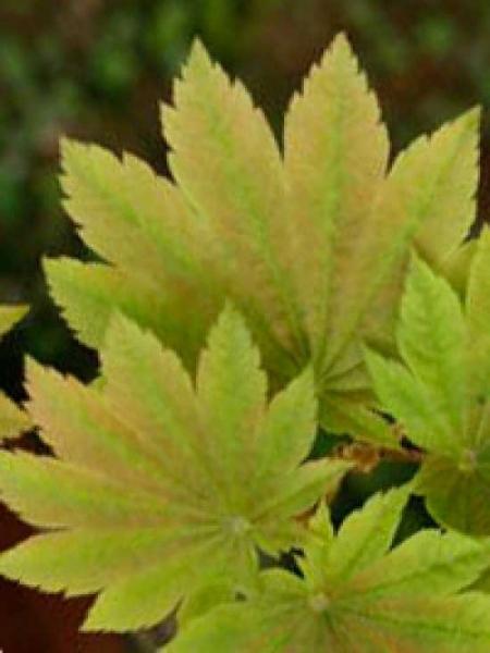 Acer japonicum 'Meigetsu' / Japanischer Ahorn 'Meigetsu' / Vollmond-Ahorn 'Meigetsu'