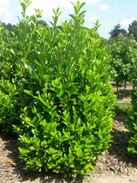 Prunus laurocerasus 'Rotundifolia' / Kirschlorbeer 'Rotundifolia' 200-250 cm Solitär mit Drahtballierung