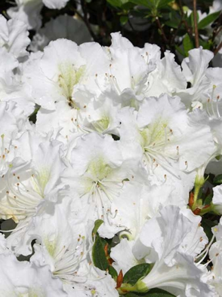 rhododendron obtusum 39 maischnee 39 japanische azalee 39 maischnee 39 g nstig kaufen baumschule new. Black Bedroom Furniture Sets. Home Design Ideas