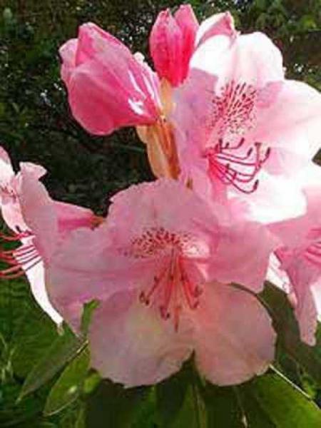 Rhododendron Hybride 'Albert Schweizer' / Rhododendron 'Albert Schweizer'