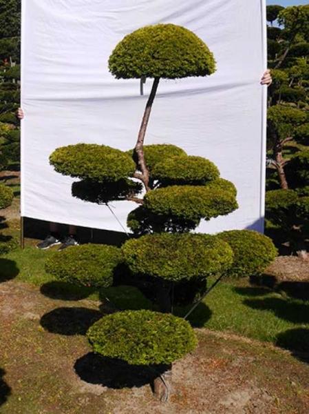 taxus baccata 39 semperaurea 39 h 190 cm b 120 cm garten bonsai 0134 g nstig kaufen. Black Bedroom Furniture Sets. Home Design Ideas