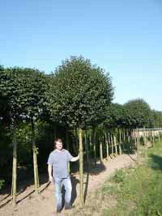 Prunus Eminens 39 Umbraculifera 39 Prunus Fruticosa 39 Globosa