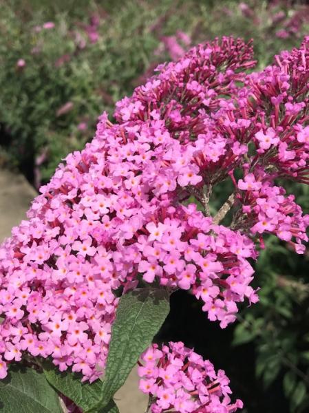 Buddleja davidii 'Pink Delight' / Sommerflieder 'Pink Delight' / Schmetterlingsstrauch 'Pink Delight'