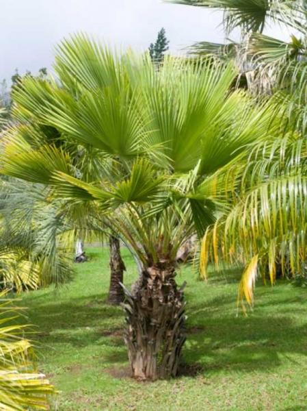 Sabal palmetto / Palmettopalme