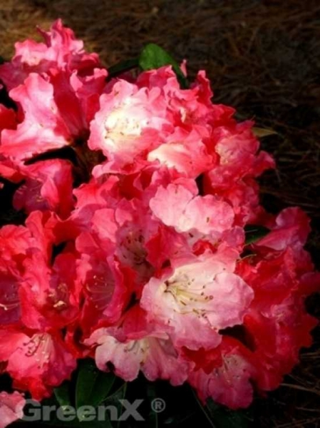 Rhododendron yakushimanum 'INKARHO Morgenrot' / Rhododendron 'INKARHO Morgenrot'