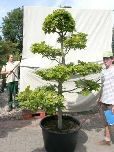Fagus sylvatica H: 210 cm B: 140 cm / Garten-Bonsai (0441317)