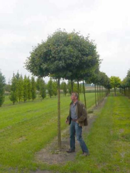 Acer campestre 'Nanum' / Kugel-Feldahorn