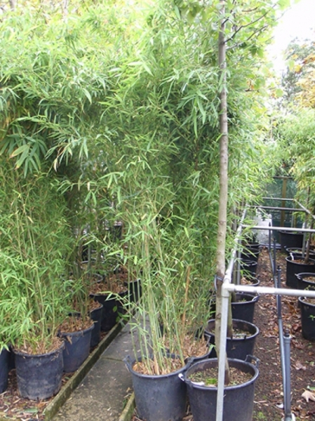 Phyllostachys viridiglaucescens / grüner Pulver Bambus 250-300 cm im 35-Liter Container