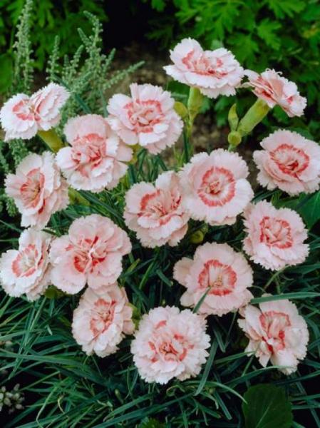 Dianthus plumarius 'Doris' / Garten-Feder-Nelke