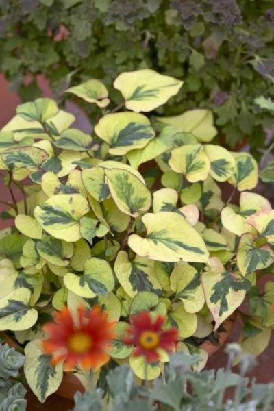 Houttuynia cordata / Chamäleonpflanze