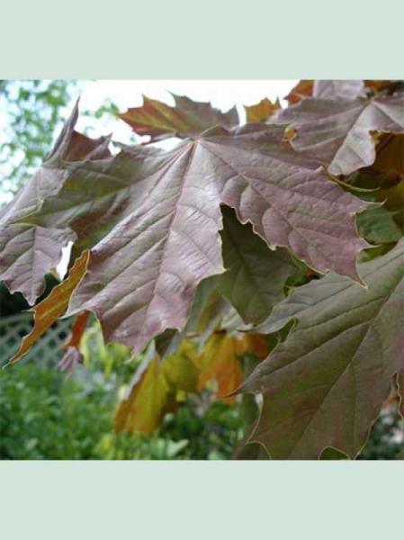 Acer pseudoplatanus 'Spaethii' / Berg-Ahorn 'Spaethii'