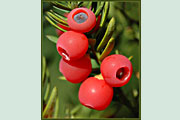 Taxus_baccata_frucht