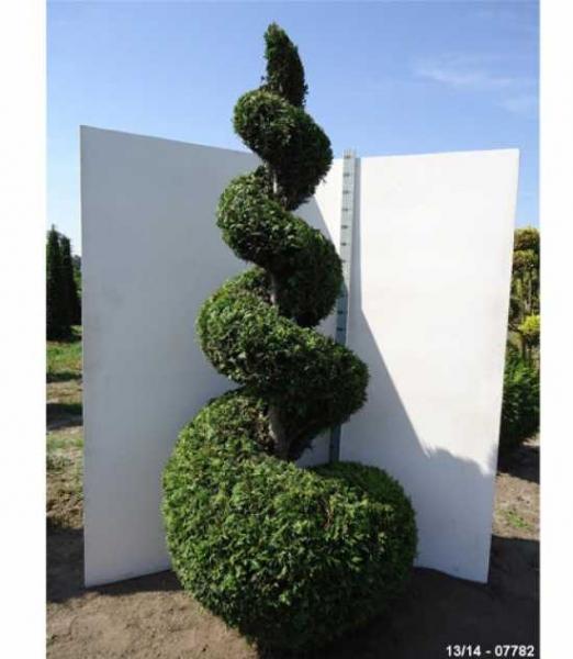 Thuja plicata 'Martin' H: 225-250 cm / Garten-Bonsai (07782)