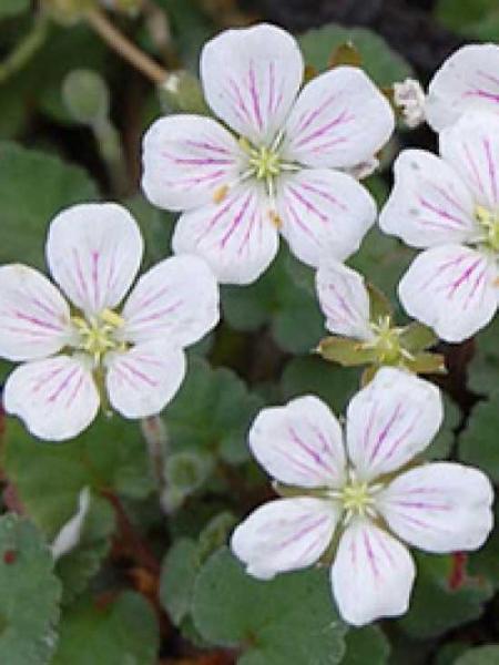 Erodium reichardii 'Album' / Garten-Reiherschnabel