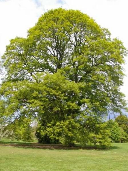 Quercus castaneifolia / Kastanienblättrige Eiche