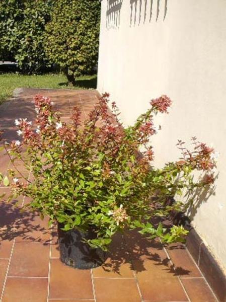 Abelia grandiflora / Großblumige Abelie