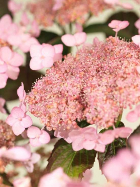 Hydrangea serrata 'Tiara' / Teller-Hortensie