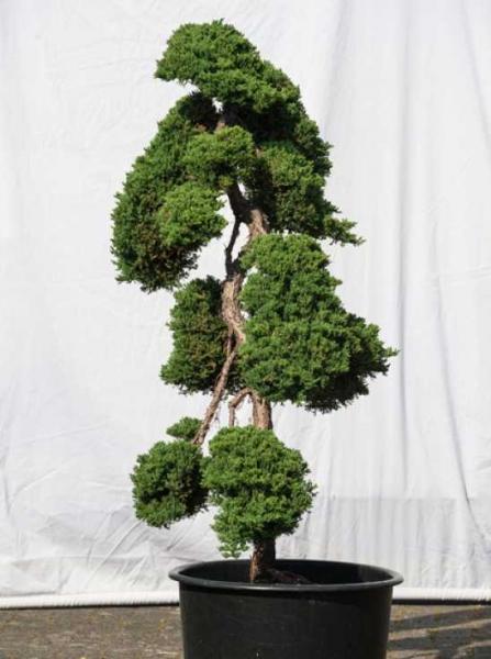 Juniperus procumbens 'Nana' H: 140 cm B: 100 cm / Garten-Bonsai (505)