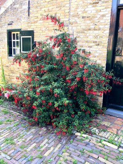 Fuchsia 'Mrs. Popple' / Fuchsie 'Mrs. Popple'