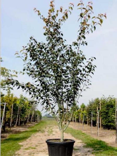 Acer davidii ssp. Grosseri / Acer grosseri / Acer grosseri var. hersii / Grossers Schlangenhautahorn