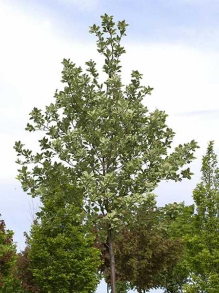 Sorbus aria 'Majestica' / Grünfilzige Mehlbeere 'Majestica'