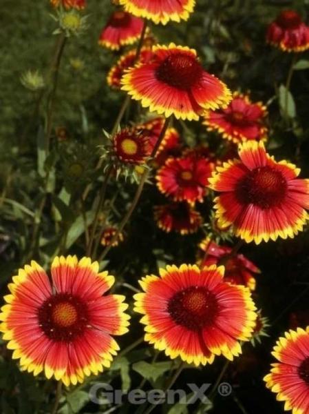 Gaillardia x grandiflora 'Bremen' / Garten-Kokardenblume
