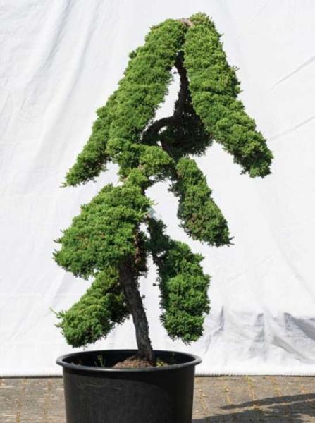 Juniperus procumbens 'Nana' H: 130 cm B: 100 cm / Garten-Bonsai (527)
