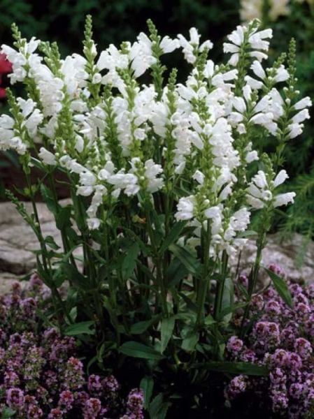 Physostegia virginiana 'Alba' / Weiße Virginische Gelenkblume