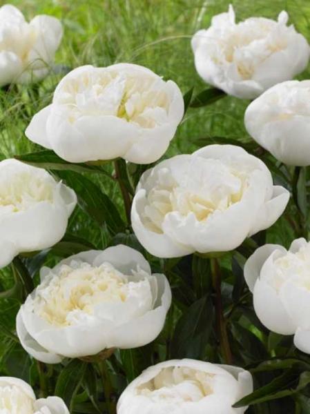 Paeonia lactiflora 'Duchesse de Nemours' / Edel-Pfingstrose